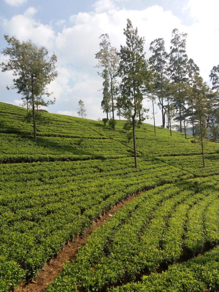 Vlakem do Ella -čajová krajina, cestopis Srí Lanka
